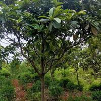 枇杷,琵琶树1-10公分枇杷基地等其他苗木