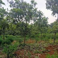枇杷,琵琶树,1-10公分枇杷基地