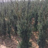 红豆杉,红豆杉盆景,曼地亚红豆杉,南方红豆杉,红豆杉基地