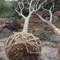 安徽合肥供应合欢价格、肥西合欢*新报价、合肥供应合欢树、