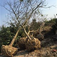 安徽肥西供应1-30公分合欢、合肥合欢供货商、合欢图片