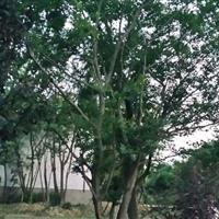 浙江丛生朴树50-60-70-80-90-100公分价格