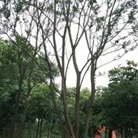 安徽丛生朴树50-60-70-80-90-100公分价格
