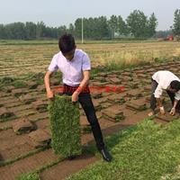 万绿园马尼拉草坪价格_马尼拉草坪产地_马尼拉草坪草皮苗圃基地