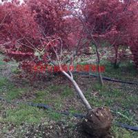万绿w88网站手机版日本红枫价格_日本红枫产地_日本红枫绿化苗木苗圃基地
