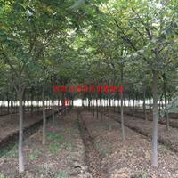 万绿w88网站手机版榉树价格_榉树图片_榉树产地_榉树绿化苗木苗圃基地
