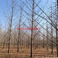 万绿w88网站手机版实生银杏图片-实生银杏价格-绿化苗圃苗木树批发直销