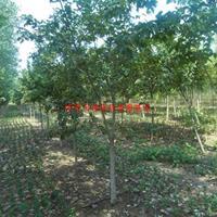 万绿w88网站手机版花椒树、苦楝、臭椿树、桑树、桤木、火炬、杜仲