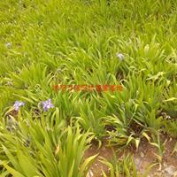 万绿园德国鸢尾价格_鸢尾图片_鸢尾产地_鸢尾绿化苗木苗圃基地