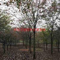 万红榉树价格_红榉树图片_红榉树产地_红榉树绿化苗木苗圃基地