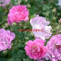 万绿w88网站手机版红花蔷薇价格_红花蔷薇产地_红花蔷薇绿化苗木苗圃基地