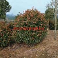 万红叶石楠球价格_红叶石楠球产地_红叶石楠球绿化苗木苗圃基地