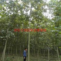 万马褂木价格_马褂木图片_马褂木产地_马褂木绿化苗木苗圃基地