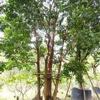 重阳木 福建重阳木 供应各种绿化苗木