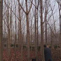 供应七叶树价格、七叶树图片、七叶树产地、七叶树绿化苗木直销