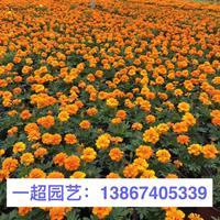 孔雀草 精品孔雀草盆栽