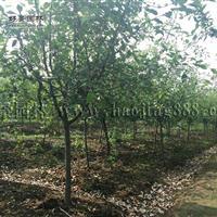 垂丝海棠价格_垂丝海棠产地_垂丝海棠绿化苗木苗圃基地