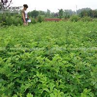 蔷薇价格_蔷薇图片_蔷薇产地_蔷薇绿化苗木苗圃基地