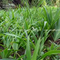 鸢尾价格_鸢尾图片_鸢尾产地_鸢尾绿化苗木苗圃基地