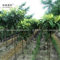 枇杷树价格_枇杷树图片_枇杷树产地_枇杷树绿化苗木苗圃基地