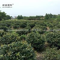 茶梅价格_茶梅图片_茶梅产地_茶梅绿化苗木苗圃基地