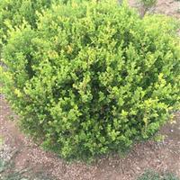 瓜子黄杨报价:冠径1-3米雀舌黄杨球价格、小叶黄杨球金边黄杨