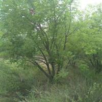 五角枫5分枝价格·高度5米冠幅5米5个头五角枫价格产地供应