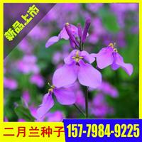 优质二月兰种子  江西二月兰种子价格  草花种子批发