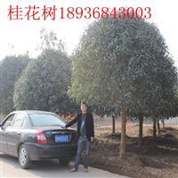 8公分桂花树多少钱,桂花树哪里有,江苏桂花树报价