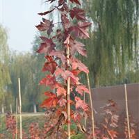 江苏地区供应批发夕阳红枫,红点红枫,十月光辉红枫小苗