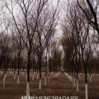 榉树基地,榉树供应 1——40公分榉树图片,榉树价格榉树产地