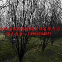 安徽肥西供紫薇、红叶李、桂花、三角枫、乌桕、女贞、五角枫