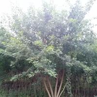 河北保定出售3--8米丛生五角枫基地