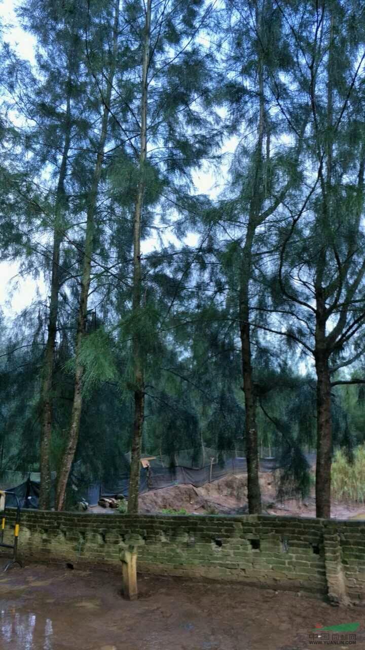 草坪草种子价格_木麻黄树10公分价格_供应_图片_沭阳县新河镇香溢花园苗木场