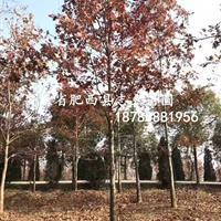 美国红枫7-14公分/美国红栎/纳塔栎8-25公/北美枫香8