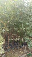 大小规格桉树基地