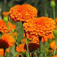 可以做花海的宿根花卉、花海农业四季海棠、波斯菊报价