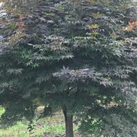 供应精品日本红枫8-18公分红豆杉8-15公分,及红豆杉小苗