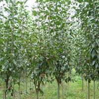 供精品垂丝海棠3公分到25公分和西府海棠2--20公分