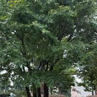 供造型罗汉松丛生红枫丛生鸡爪槭丛生红梅丛生八月桂四季桂