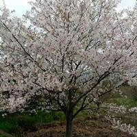 供鸡爪槭红枫红梅日本樱花八月桂垂丝海棠西府海棠无患子