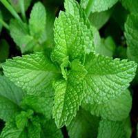 薄荷绿色高产栽培技术/绿色薄荷生产基地 /薄荷中药