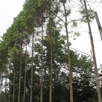 桉树6-7公分*新价格 桉树批发种植基地供应