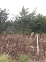 红豆杉/大量供应8公分-25红豆杉/广西红豆杉/南方红豆杉