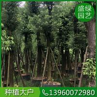 供应各种类型香樟树,提供*新香樟树价格信息