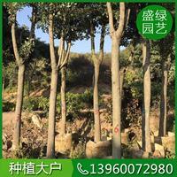 福建香樟移栽方法 漳州香樟移栽方法 可供*香樟