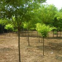 供应绿化苗木金枝国槐,黄金槐 ,黄槐点缀苗木