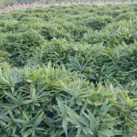 箬竹价格_箬竹图片_箬竹产地_箬竹绿化苗木苗圃基地