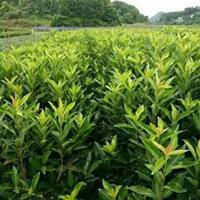 法国冬青高30至3米,冬青,珊瑚树,绿篱,日本冬青