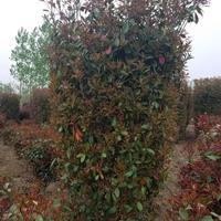江苏红叶石楠柱、枫香、合欢、垂榆、马褂木、栾树、七叶树